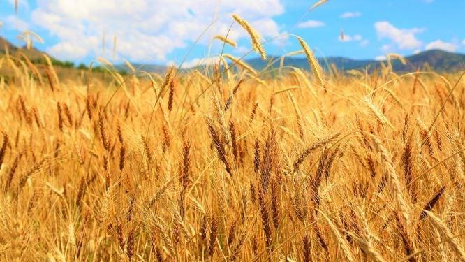 Yüzyıllar Öncesınden Gelen Gelenek: Buğday